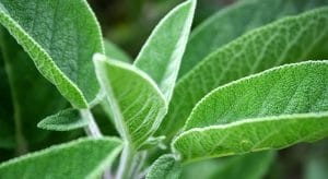 Out of Sage? Problem Solved With These 6 Wonderful Substitutes For Sage! 1 #cookymom