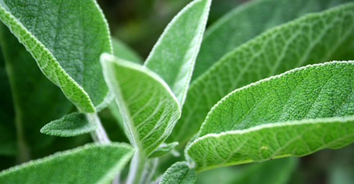 Out of Sage? Problem Solved With These 6 Wonderful Substitutes For Sage!  (The Last One Is Quite Unexpected!)